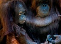 Orang - oetan - Borneo - Maleisië - foto: unsplash