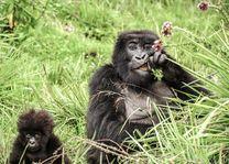 Volcanoes National Park - Gorilla's - Rwanda - foto: Sabyinyo Silverback Lodge