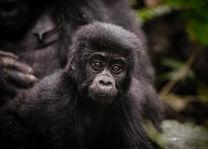 Sanctuary Gorilla Forest Camp - gorilla - Bwindi - Oeganda - foto: Sanctuary Gorilla Forest Camp