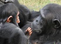 Sweetwaters Serena Camp - chimpansees - Kenia - foto: Serena Hotels & Resorts