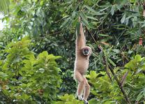 Thailand - Khao Sok National Park - gibbon - foto: Elephant Hills