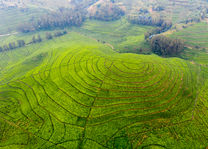 Theeplantage landschap - Lake Kivu - Rwanda - foto: Visit Rwanda