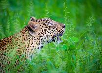 Time Tide Nsolo - luipaard - South Luangwa - Zambia - foto: Time Tide Nsolo