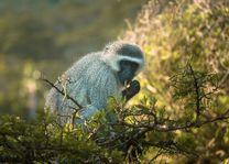 Vervet Monkey - Drakensbergen - Zuid-Afrika - foto: Travel Rumors