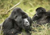 Volcanoes National Park - gorillatrekking - Rwanda - foto: Visit Rwanda