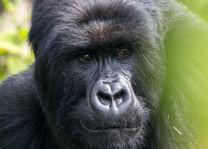 Volcanoes - gorillatrekking - Rwanda - foto: Visit Rwanda