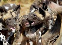 Wilde Honden in de Okavango Delta - Botswana