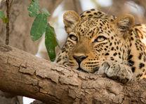 Luipaard - Zambia