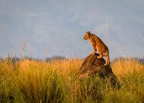 Leeuwenwelp in Zambia
