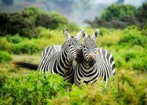 Zebra - Kenia - foto: pixabay