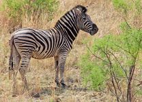 Zebra - Pilanesberg National Park - Zuid-Afrika - foto: pixabay