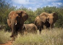 Olifant - Madikwe - Madikwe Safari Lodge - Zuid-Afrika - foto: Madikwe Safari Lodge