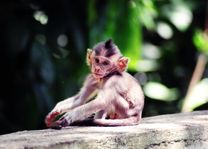 Aapje op Bali in Indonesië - Pixabay K-Bennet - foto: pixabay