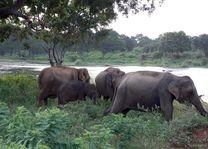 Olifanten in natuur, Sri Lanka - Sri Lanka - Algemeen