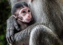 Apen - Batu Caves - Kuala Lumpur - Maleisië - foto: flickr