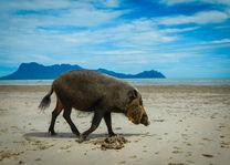 Baardzwijn - Bako National Park - Sarawak - Maleisië - foto: flickr