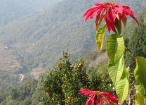 Poinsettia bloem - Bhutan - foto: Mieke Arendsen