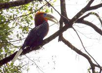 Himalaya-jaarvogel in Bhutan - Bhutan - foto: Kinga Dechen