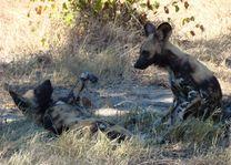 wilde honden kwando lagoon - botswana