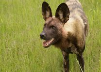 Afrikaanse wilde hond in Moremi - Moremi GR - Botswana