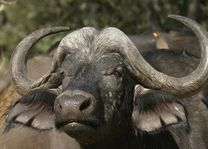 Buffel - Botswana