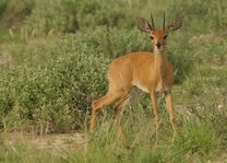 Duiker in Caprivi - Caprivi - Botswana