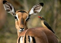 Impala met vogel - Botswana