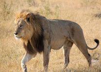 Leeuw man loopt in Central Kalahari - Central Kalahari - Botswana