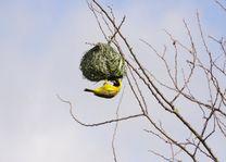 Vogel bouwt nest in Moremi - Moremi GR - Botswana