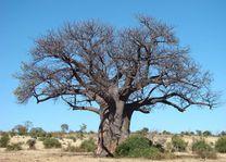 Grote boom in landschap - Botswana