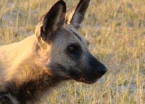 Hoofd van hyena - Botswana - foto: Martijn Visscher