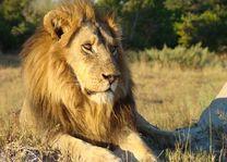 Leeuw aan het denken - Botswana