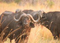 buffel Pom Pom Camp - Pom Pom Camp - Botswana