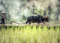 boer met buffel - Cambodja - foto: Archief