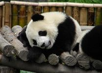 panda - wolong - China - foto: Berry ter Horst