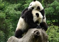 2 panda's - wolong - China - foto: Berry ter Horst