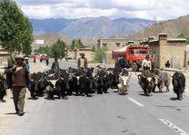 vee op straat Zijderoute - Zijderoute - China
