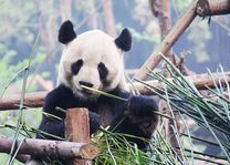 panda in Chengdu - Chengdu - China - foto: rechtenvrij