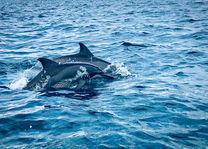 dolfijnen in Kalpitiya - Sri Lanka - foto: shutterstock