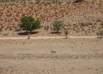gemsbok in het Kgalagadi Transfrontier Park