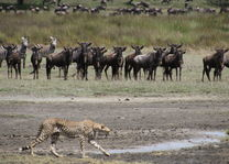 gnoes - en - cheetah - Ndutu - Tanzania - foto: Martijn Visscher