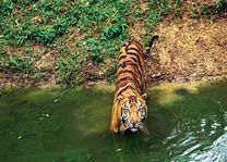 tijger in water - India