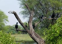 zwarte vogels in Bharatpur - Bharatpur - India