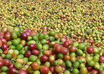 Koffie drogen in het Periyar National Park - Periyar National Park - India - foto: Karin Nuijt