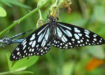 Vlinder in Mararikulam - Mararikulam - India - foto: Karin Nuijt