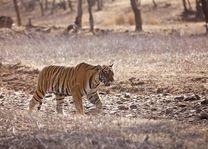 Indische Tijger - India - foto: Archief