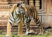 Indische Tijger met tempel - India - foto: Archief