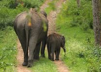Moeder en baby olifant in het Kaziranga National Park - Kaziranga NP - India - foto: archief