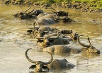 waterbuffel in het Kaziranga National Park - Kaziranga NP - India - foto: archief