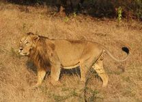 Leeuw in het Sasan Gir National Park - Sasan Gir NP - India - foto: archief